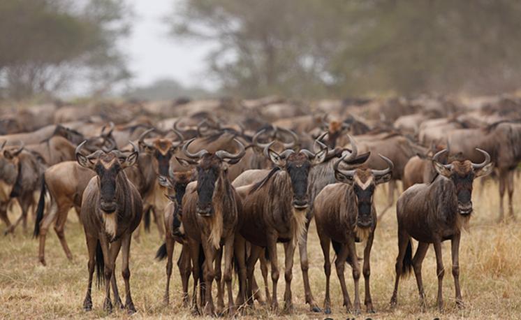 Migración de ñus en Serengueti (Tanzania)., foto de J.L. Gómez de Francisco.