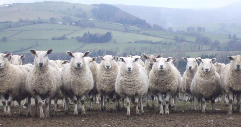 ovejas bien